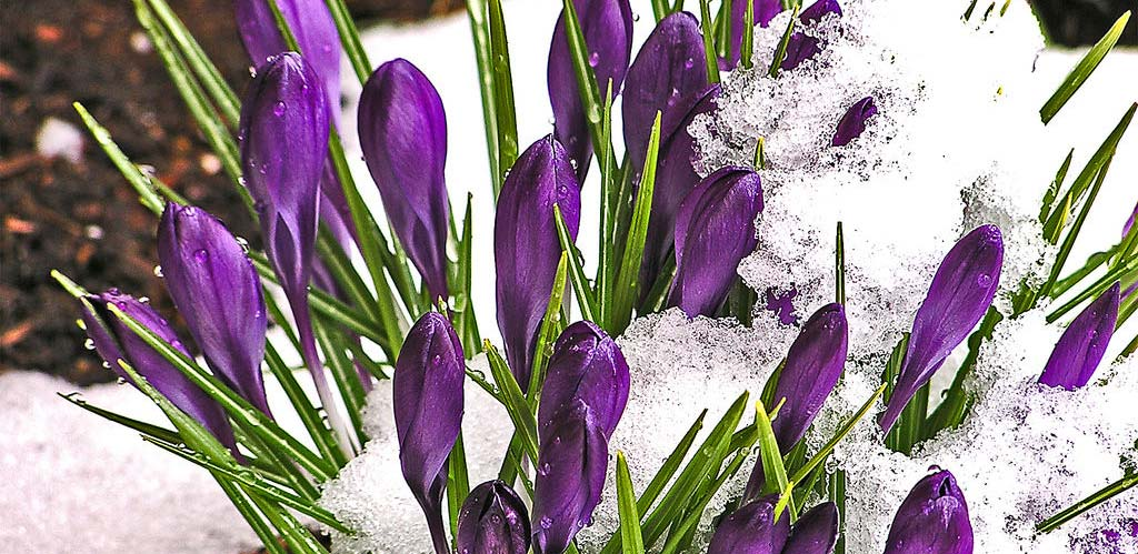 Photograph of crocus buds in the snow